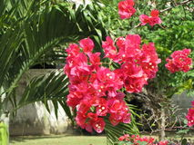 Beautifull garden, red flowers, tropical plants, green leafs. Beautifull garden in South America Royalty Free Stock Image