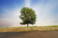 Beautifull green tree. In the field Royalty Free Stock Images