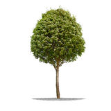 Beautifull green tree on a white background in high definition Royalty Free Stock Photo