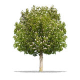 Beautifull green tree on a white background in high definition Royalty Free Stock Photos