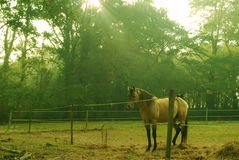 Beautifull Horse. Morning light on farm with beautifull animal calm and sereign Stock Image