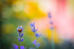 A beautifull lavander flower. In a garde Stock Images