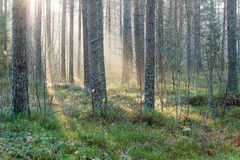 Beautifull light beams in forest through trees Stock Photo