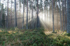 Beautifull light beams in forest through trees Stock Photos