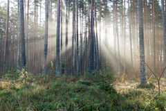 Beautifull light beams in forest through trees Royalty Free Stock Photography