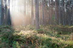 Beautifull light beams in forest through trees Royalty Free Stock Image