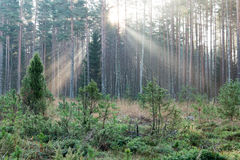 Beautifull light beams in forest through trees Royalty Free Stock Images