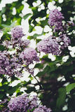 Beautiful, lilac, spring, light, warm, flowers, flower, magic, summer, park, tree. Summer lilac in the park in St.Petersburg Stock Photos