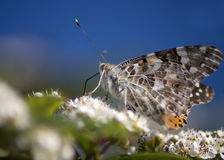 beautifull motyl Fotografia Royalty Free