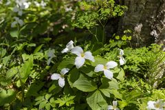 A Beautifull north American flower White Trillium flower. Trillium grandiflorum, also know as wake - robin,symbol of Ontario,Canada  and  state wild flower of royalty free stock images
