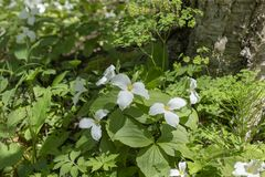 A Beautifull north American flower White Trillium flower. Trillium grandiflorum, also know as wake - robin,symbol of Ontario,Canada  and  state wild flower of royalty free stock image