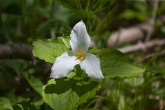 A Beautifull north American flower White Trillium flower. Trillium grandiflorum, also know as wake - robin,symbol of Ontario,Canada  and  state wild flower of stock photo