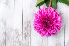 Beautifull pink blooming chrysanthemum flower on wooden background. Space for text. Stock Images