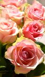 Beautifull pink roses Royalty Free Stock Photos