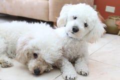 Beautifull Poodles Stock Image