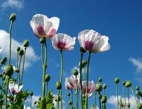 Beautifull poppy field Stock Photo