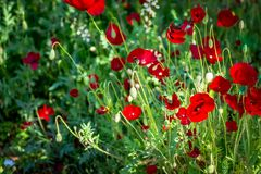 Beautifull Red roppies. Glade with spring red poppies Royalty Free Stock Photo