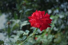 Red rose on blur background. Beautifull Red rose on blur background, this flower in may front garden Royalty Free Stock Image