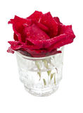 Beautifull red rose in a glass with water drops. Beautiful fresh red rose with water drops in a glass vase isolated on white background Stock Photo