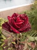Beautifull rose in the garden with rain drops Stock Image