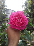 A beautifull rose on a hand. This beautifull rose capture by a mobile after water spray Royalty Free Stock Photography