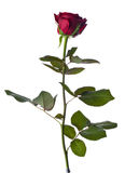 Beautifull single red rose Stock Images