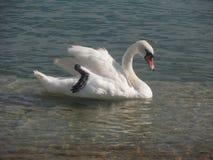 Beautiful Swan Royalty Free Stock Image