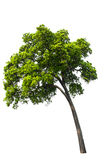 Beautifull  tree on a white background Royalty Free Stock Image