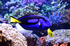 Beautifull tropical fish Royalty Free Stock Photography