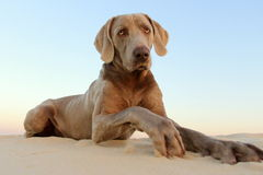A beautifull weimeraner poses on the beach in this image. A weimeraner (German breed) plays in the sand on the beach in this image taken in South Africa royalty free stock photography