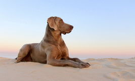 A beautifull weimeraner poses on the beach in this image. A weimeraner (German breed) runs in the sand on the beach in this image taken in South Africa Royalty Free Stock Photos