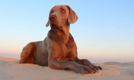 A beautifull weimeraner poses on the beach in this image. A weimeraner (German breed) poses on the beach in this image taken in South Africa royalty free stock photo