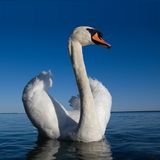 Beautifull white swan. Swimming on blue water stock photo