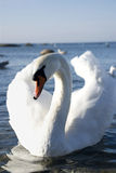 Beautifull white swan swimming on water Royalty Free Stock Photo