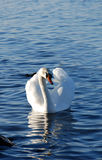 Beautifull white swan swimming on water Royalty Free Stock Photography