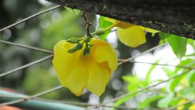 Beautifull yellow of flowers royalty free stock photo