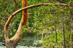Beautifully bent pine trunk in summertime on water background Stock Photo