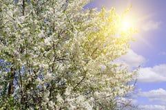 Beautifully blomstra trädfilialen Körsbär - Sakura och sol med royaltyfri foto