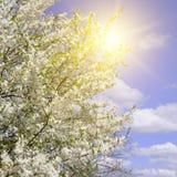 Beautifully blomstra trädfilialen Körsbär - Sakura och sol med royaltyfri bild
