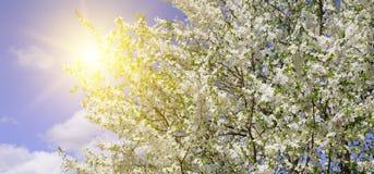 Beautifully blomstra trädfilialen Körsbär - Sakura och sol med arkivbild