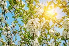 Beautifully blomstra trädfilialen Körsbär - Sakura och sol med en naturlig kulör bakgrund arkivfoto