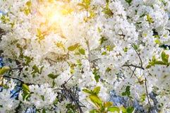 Beautifully blomstra trädfilialen Körsbär - Sakura och sol med en naturlig kulör bakgrund arkivfoton