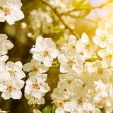 Beautifully blomstra trädfilialen Körsbär - Sakura och sol med en naturlig kulör bakgrund fotografering för bildbyråer
