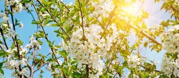 Beautifully blomstra tr?dfilialen K?rsb?r - Sakura och sol med en naturlig kul?r bakgrund arkivfoto