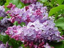 Beautifully blossoming lilac in the Lilac Garden in Moscow. Beautifully blossoming lilac on the green background. In the Lilac Garden in Moscow in May, 2015 stock photos