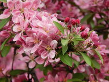 Beautifully blossoming plum tree. Beautifully blossoming plum tree with dark pink flowers and buds.  May, 2015 Stock Photos