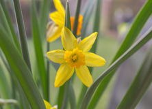 Beautifully blossoming yellow narcissus flower in the garden Stock Photos