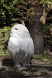 Beautifully colored female Snowy Owl, Nyctea scandiaca Royalty Free Stock Photography