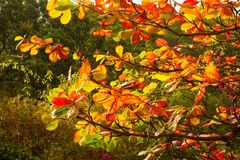 Beautifully colored leaves on an almond tree in the caribbean. Tropical leaves turning shades of red, orange and yellow before dropping from a tree in the stock photos