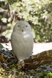 Beautifully colored male Snowy Owl, Nyctea scandiaca Stock Photos